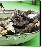 Boat Full Of Alligators  Canvas Print