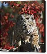 Bobcat Felis Rufus Walks Along Branch Canvas Print
