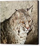 Bobcat Iv Canvas Print by DiDi Higginbotham