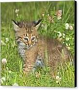 Bobcat Kitten Canvas Print by John Pitcher