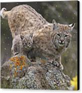 Bobcat Mother And Kitten In Snowfall Canvas Print by Tim Fitzharris