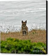 Bodega Bay Bobcat Canvas Print by Mitch Shindelbower