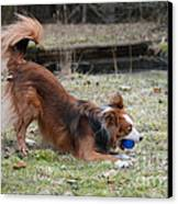 Border Collie Playing With Ball Canvas Print by Mark Taylor