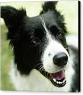Border Collie Sitting On Grass,close-up Canvas Print by Stockbyte