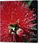 Bottle Brush Canvas Print by Joanne Kocwin