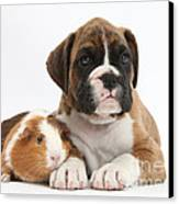 Boxer Puppy And Guinea Pig Canvas Print