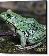 Bright Green Bullfrog Canvas Print by Chris Hill