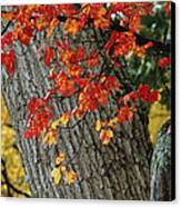 Bright Red Maple Leaves Against An Oak Canvas Print by Tim Laman