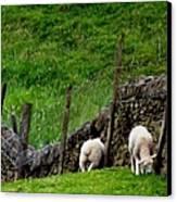 British Lamb Canvas Print