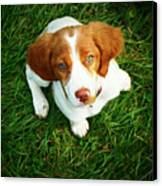 Brittany Spaniel Puppy Canvas Print by Meredith Winn Photography