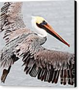Brown Pelican . 7d8234 Canvas Print by Wingsdomain Art and Photography