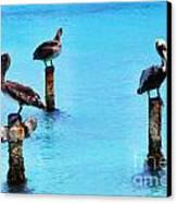 Brown Pelicans In Aruba Canvas Print by Thomas R Fletcher