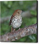 Brown Thrasher Canvas Print by Gregory Scott