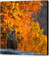 Buck In The Fall 02 Canvas Print