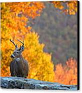 Buck In The Fall 04 Canvas Print