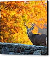 Buck In The Fall 07 Canvas Print