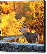 Buck In The Fall 09 Canvas Print