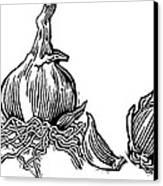Bulbs Of Garlic, Woodcut Canvas Print by Gary Hincks