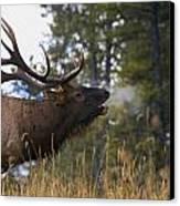 Bull Elk Bugling Jasper National Park Canvas Print by Carson Ganci
