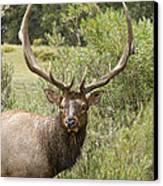 Bull Elk Eyes Canvas Print by James BO  Insogna