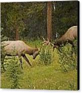 Bull Elk Fighting, Banff National Park Canvas Print by Philippe Widling