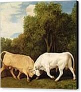 Bulls Fighting Canvas Print