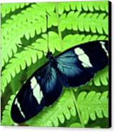Butterfly On Leaf. Canvas Print by Kryssia Campos