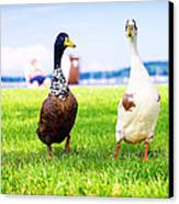 Calico Duck Quartet Canvas Print by Vicki Jauron