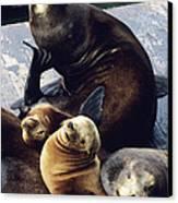 California Sea Lions Canvas Print by Alan Sirulnikoff