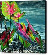 Calladiums Canvas Print