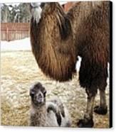 Camel And Colt Canvas Print by Ria Novosti