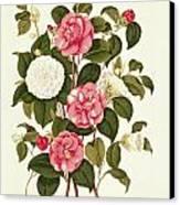 Camellia Canvas Print by English School
