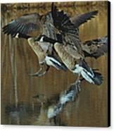 Canada Goose Trio Landing - C0843m Canvas Print by Paul Lyndon Phillips
