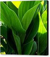 Canna Lilly Canvas Print by Susan Saver