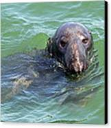 Cape Cod Harbor Seal Canvas Print by Juergen Roth