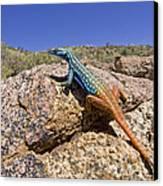 Cape Flat Lizard  South Africa Canvas Print by Piotr Naskrecki