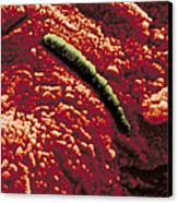Carbonate Glob Of Meteorite Canvas Print