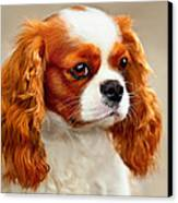 Cavalier Spaniel  Canvas Print by Dorothy Walker