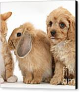 Cavapoo Pup, Rabbit And Ginger Kitten Canvas Print by Mark Taylor