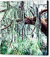 Cedar Draped In Spanish Moss Canvas Print
