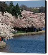 Cherry Blossom Festival, Jefferson Canvas Print by Richard Nowitz