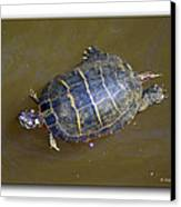 Chester River Turtle Canvas Print