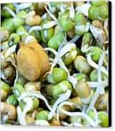 Chickpea And Other Lentils In The Form Of Healthy Eatable Sprouts Canvas Print by Ashish Agarwal