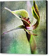 Chiloglottis Canvas Print by David Lade