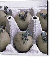 Chitted Potatoes In An Egg Box Canvas Print by Maxine Adcock