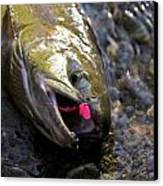 Chum Salmon Canvas Print by Ivan SABO