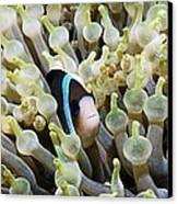 Clarke's Anemonefish Canvas Print by Georgette Douwma
