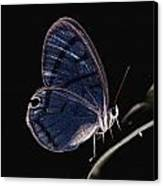 Close-up Of A Glassy-wing Butterfly Canvas Print