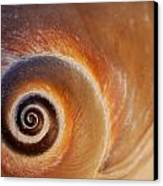 Close Up Of A Moon Snail Shell Showing Canvas Print