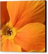 Close Up Of An Orange Primrose Flower Canvas Print